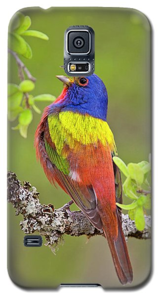 Painted Bunting Singing 1 Galaxy S5 Case