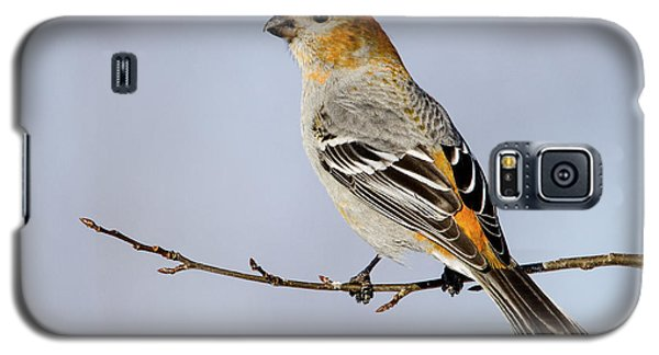 Female Pine Grosbeak Galaxy S5 Case