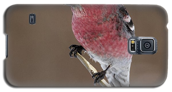 Pine Grosbeak Galaxy S5 Case