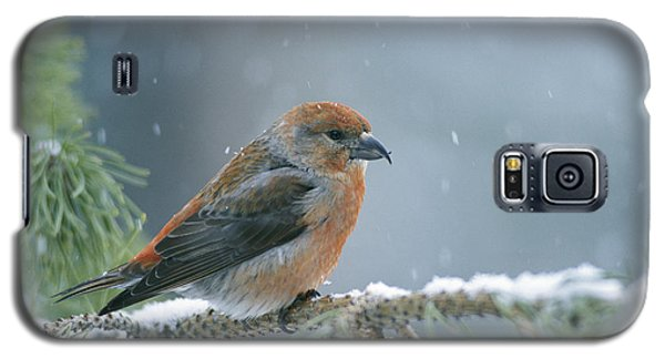 A Red Crossbill Loxia Curvirostra Galaxy S5 Case