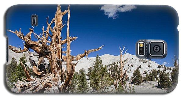 Bristlecone Pine - Pinus Longaeva Galaxy S5 Case