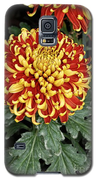 Galaxy S5 Case featuring the photograph Chrysanthemum by Eva Kaufman