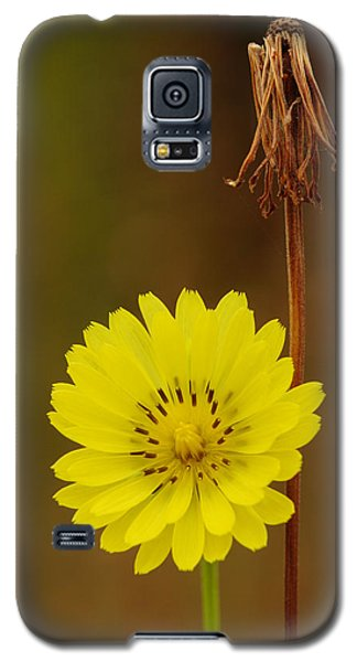False Dandelion Flower With Wilted Fruit Galaxy S5 Case by Daniel Reed