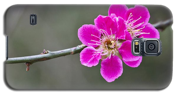 Galaxy S5 Case featuring the photograph Japanese Flowering Apricot. by Clare Bambers