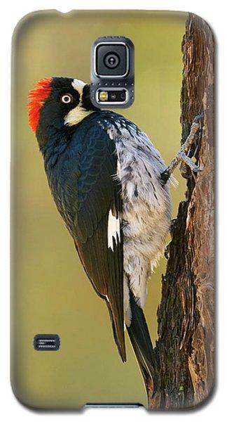 Acorn Woodpecker Galaxy S5 Case by Doug Herr