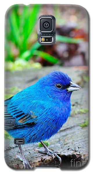 Indigo Bunting Galaxy S5 Case by Thomas R Fletcher
