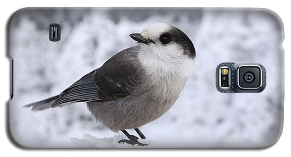 Gray Jay - White Mountains New Hampshire Usa Galaxy S5 Case