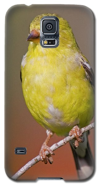 American Goldfinch  Female Galaxy S5 Case by Bob Decker