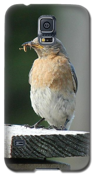 Galaxy S5 Case featuring the photograph American Robin by Charles and Melisa Morrison