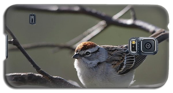 Galaxy S5 Case featuring the photograph Backlit Chipping Sparrow by Susan Capuano