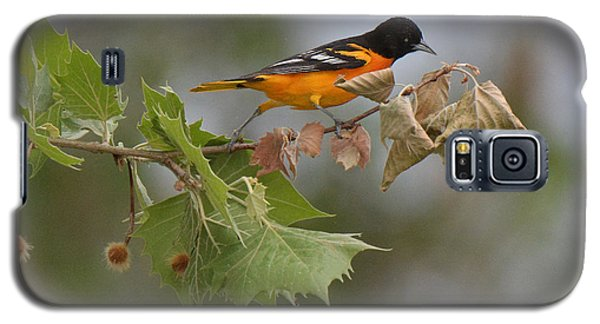 Baltimore Oriole Out On A Limb Galaxy S5 Case by Alan Lenk