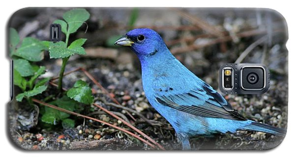Beautiful Indigo Bunting Galaxy S5 Case