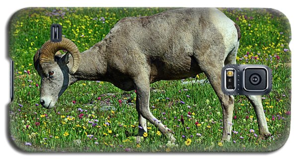 Big Horn Ram Eating Flowers In Glacier National Park Galaxy S5 Case