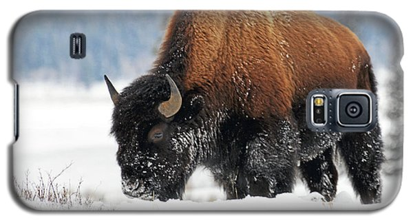 Bison Roaming In The Lamar Valley Galaxy S5 Case