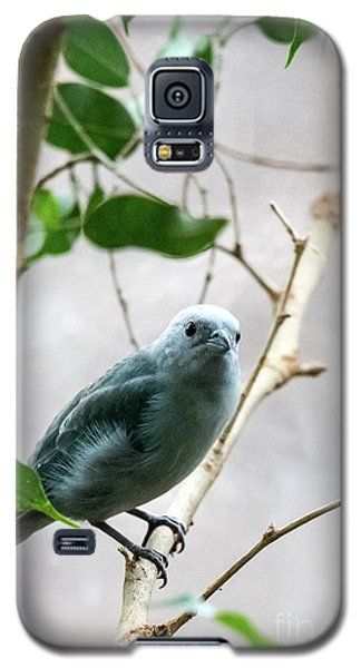 Blue-grey Tanager 2 Galaxy S5 Case