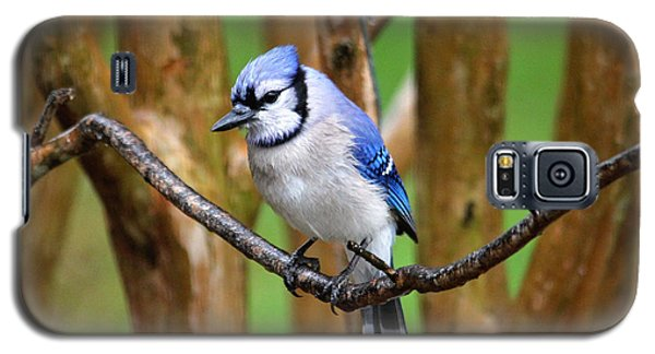 Blue Jay On A Branch Galaxy S5 Case