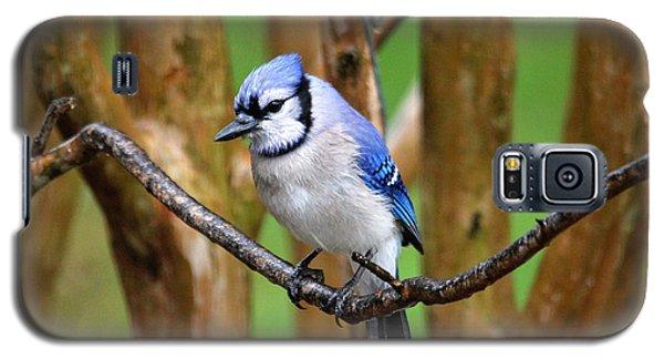 Blue Jay On A Branch Galaxy S5 Case