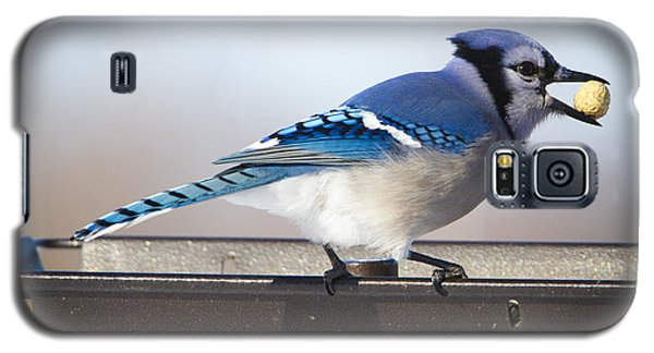 Blue Jay With A Mouth Full Galaxy S5 Case