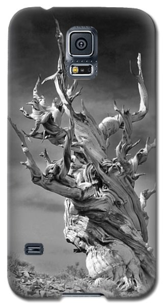 Bristlecone Pine - A Survival Expert Galaxy S5 Case by Christine Till