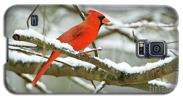 Finch Galaxy S5 Case - Cardinal In Snow by Laura D Young