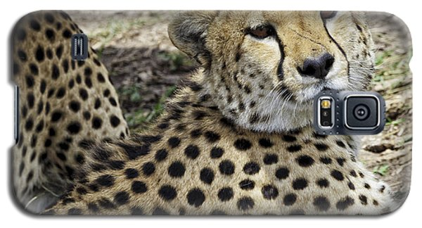 Cheetahs Resting Galaxy S5 Case