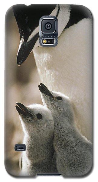 Chinstrap Penguin Pygoscelis Antarctica Galaxy S5 Case by Tui De Roy