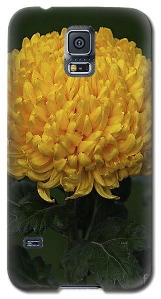 Chrysanthemum 'derek Bircumshaw' Galaxy S5 Case