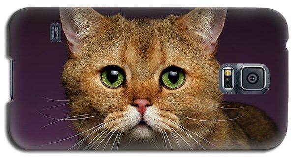 Closeup Golden British Cat With  Green Eyes On Purple  Galaxy S5 Case by Sergey Taran