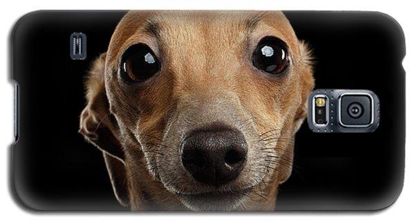 Closeup Portrait Italian Greyhound Dog Looking In Camera Isolated Black Galaxy S5 Case