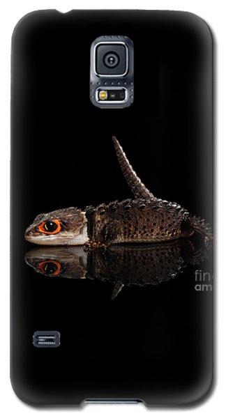 Closeup Red-eyed Crocodile Skink, Tribolonotus Gracilis, Isolated On Black Background Galaxy S5 Case by Sergey Taran