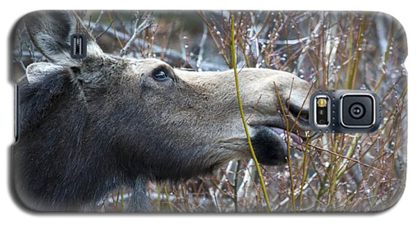 Cow Moose Dining On Willow Galaxy S5 Case
