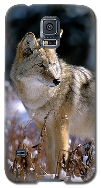 Coyote In Winter Light Galaxy S5 Case