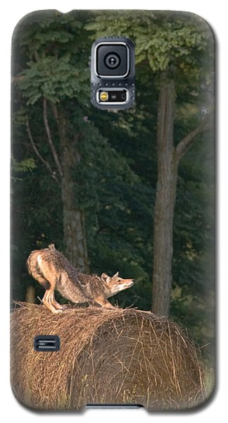 Coyote Stretching On Hay Bale Galaxy S5 Case