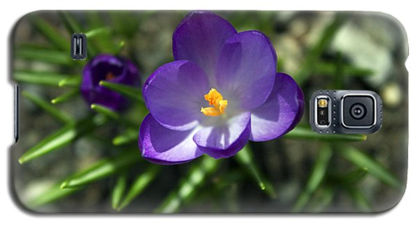 Crocus In Bloom #1 Galaxy S5 Case