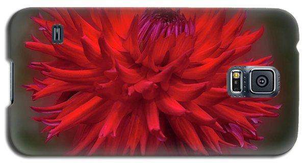Dahlia 'hollyhill Miss Scarlet' Galaxy S5 Case