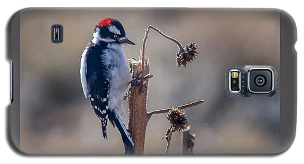 Downy Woodpecker Finding Insects From Sunflower Stem. Galaxy S5 Case