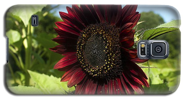 Evening Sun Sunflower #1 Galaxy S5 Case