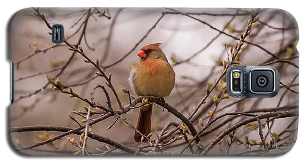 Galaxy S5 Case featuring the photograph Female Cardinal In Spring 2017 by Terry DeLuco