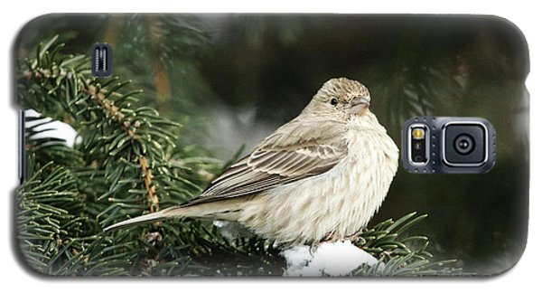 Female House Finch On Snow Galaxy S5 Case