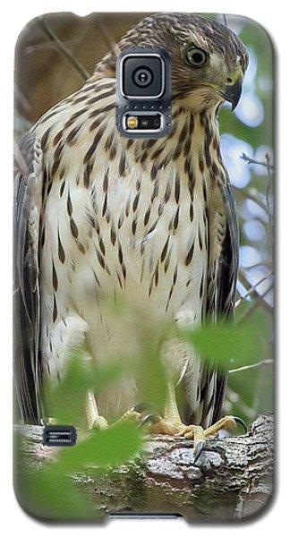 Fledgling Red-shouldered Hawk 2 Galaxy S5 Case