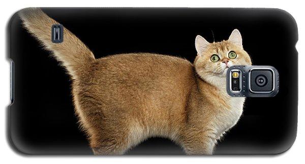 Funny British Cat Golden Color Of Fur Galaxy S5 Case