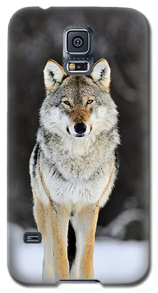 Gray Wolf In The Snow Galaxy S5 Case