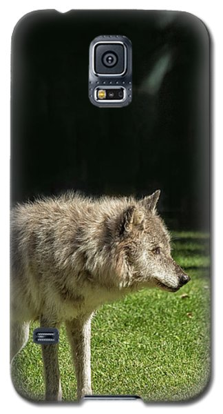 Grey Wolfe In Close Up Galaxy S5 Case by Patricia Hofmeester
