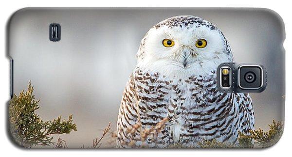 Hampton Beach Nh Snowy Owl Galaxy S5 Case