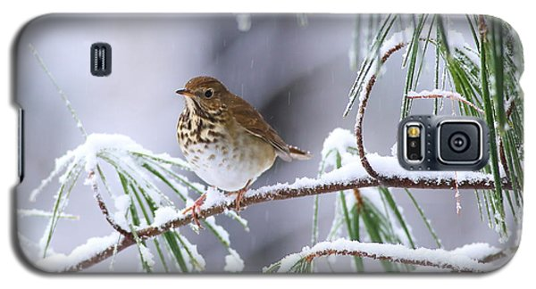 Hermit Thrush In Snowy Pine Galaxy S5 Case