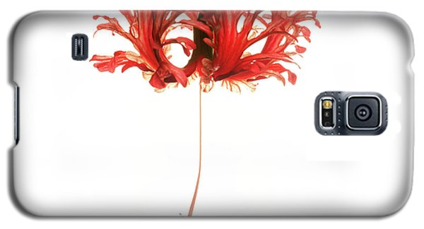 Hibiscus Schizopetalus On White Galaxy S5 Case