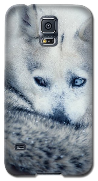 Husky Curled Up Galaxy S5 Case