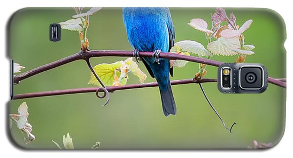 Indigo Bunting Perched Square Galaxy S5 Case