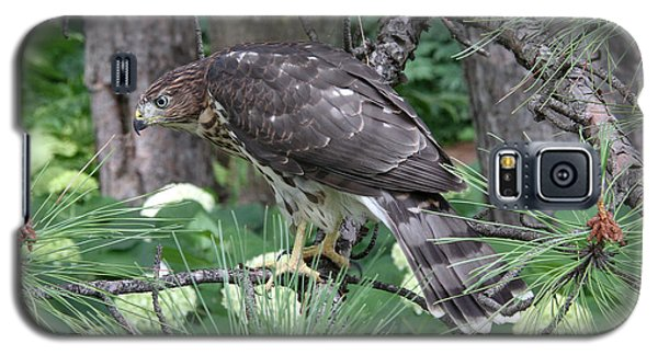 Juvenile Cooper's Hawk Galaxy S5 Case by Doris Potter