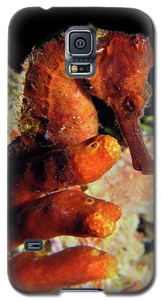 Longsnout Seahorse, St. Croix, U.s. Virgin Islands 2 Galaxy S5 Case